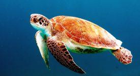 Аукцион CryptoKitties собрал 25 000$ для спасения морских черепах
