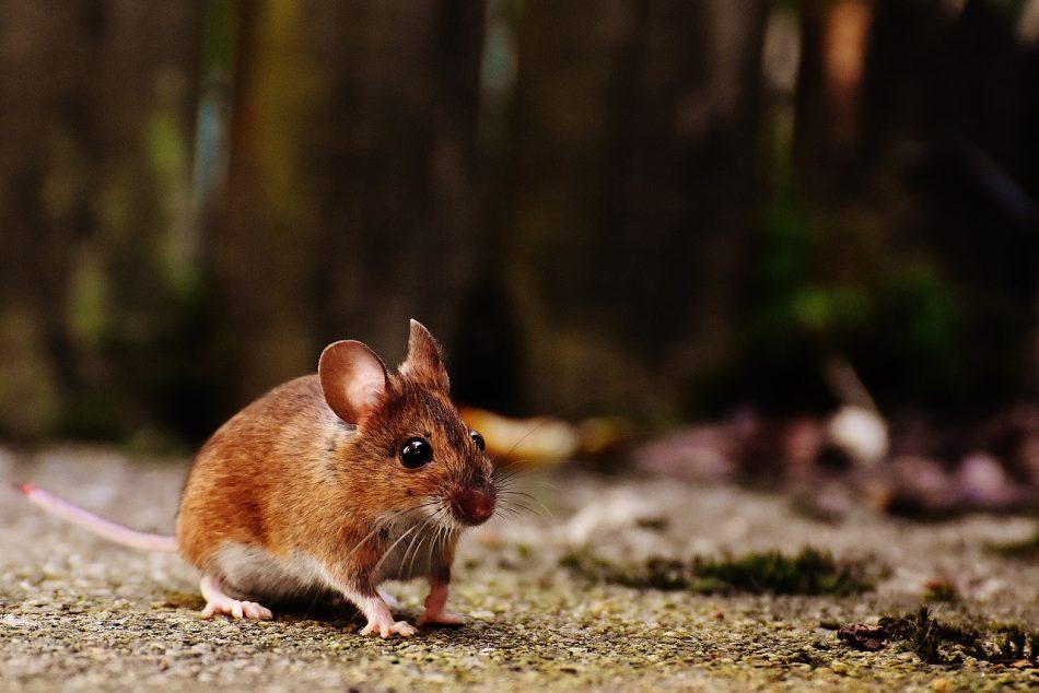 В США создана программа, переводящая мышиный писк