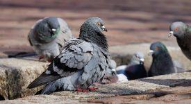 Для британских голубей создали специальный сенсорный ранец