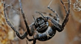 В Британии создан препарат от эректильной дисфункции из яда паука