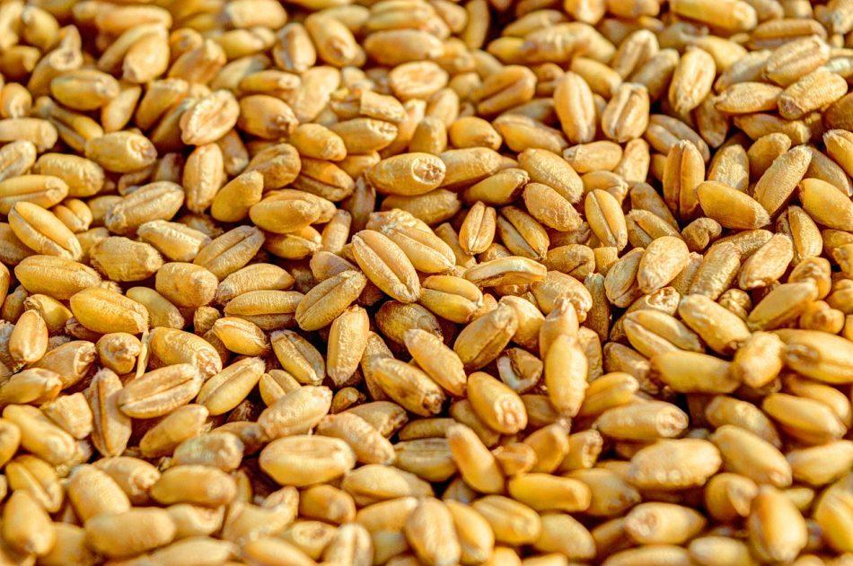 Новый способ оценки качества посевного зерна основан на использовании рентгена